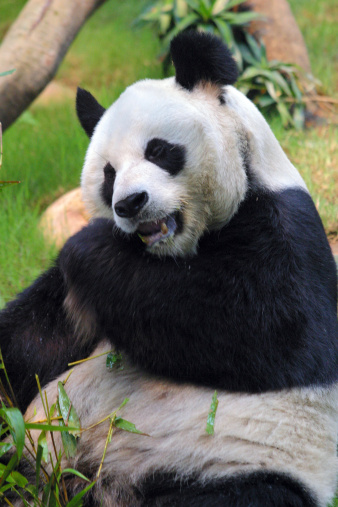 パンダ「A stock photo of a panda in a zoo enclosure, resting and eating shoots and leaves. Hong Kong Asia.」:スマホ壁紙(0)