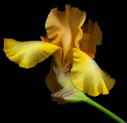 Iris Family「A yellow bearded iris flower on a black background 」:スマホ壁紙(12)