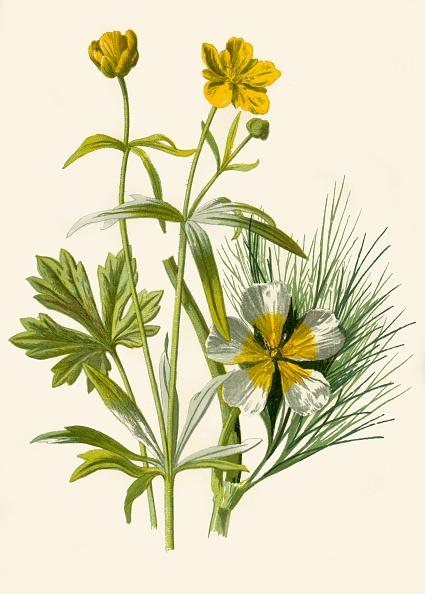 静物「Goldilocks Water Ranunculus」:写真・画像(19)[壁紙.com]