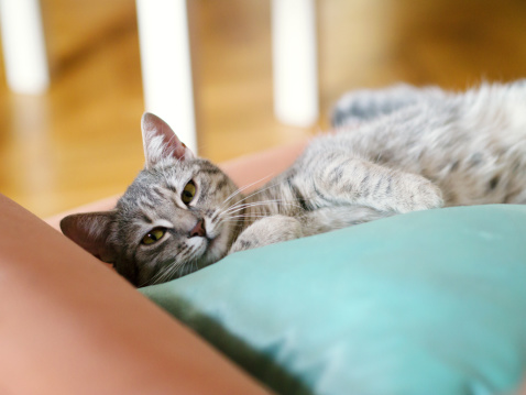 Kitten「Cute young tabby cat laying on sofa」:スマホ壁紙(11)