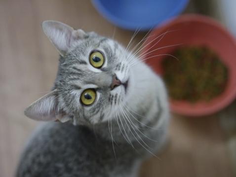 子猫「Cute young tabby cat looking up」:スマホ壁紙(1)