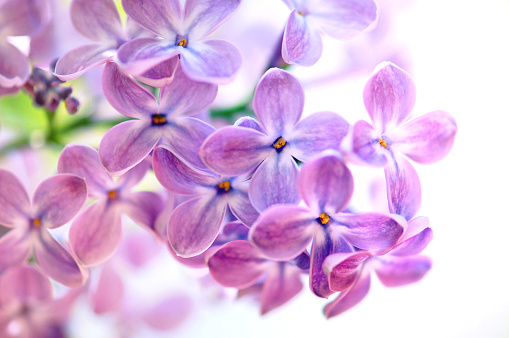 Flower Head「Isolated Purple Lilac on what background」:スマホ壁紙(16)