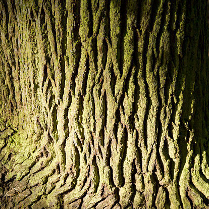 オーク林「Oak tree trunk ancient oak forest Cannock Chase」:スマホ壁紙(15)