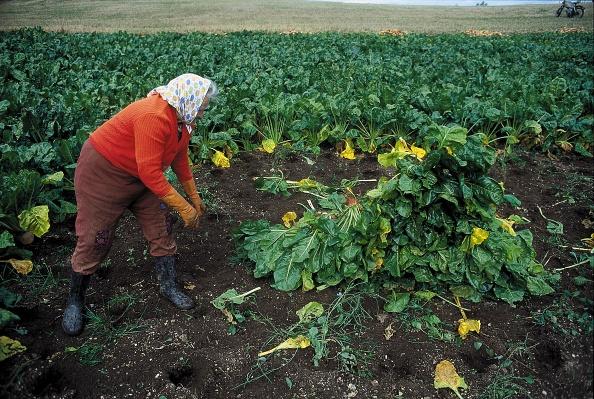 Turnip「A peasant woman harvests turnips on a field near Allensteig in the Austrian Waldviertel, Photograph, Around 2004」:写真・画像(5)[壁紙.com]