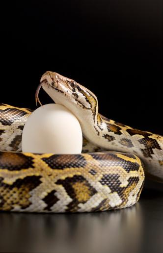 Evil「Burmese python holding egg」:スマホ壁紙(18)