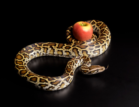 Evil「Burmese python squeezing apple」:スマホ壁紙(6)