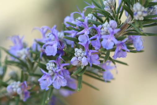 Asparagus「A purple Rosemary plant with flowers」:スマホ壁紙(2)