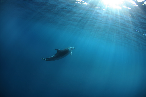 Dolphin「Indo-Pacific Bottlenose Dolphin, South Africa」:スマホ壁紙(1)