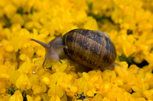 snails「snail in yellow ground cover flowers」:スマホ壁紙(12)