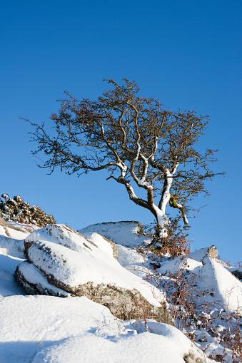 Hawthorn「A twisted hawthorn tree in the snow, Dartmoor, England」:スマホ壁紙(5)