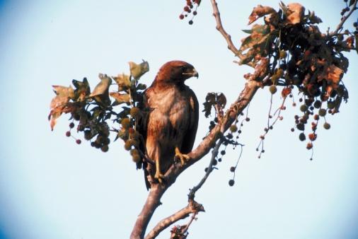 Hawk - Bird「Hawk perched on tree branch」:スマホ壁紙(0)