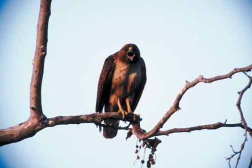 Hawk - Bird「Hawk perched on tree branch」:スマホ壁紙(1)