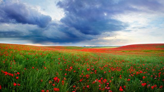 Farm「Field of poppies bloom」:スマホ壁紙(13)