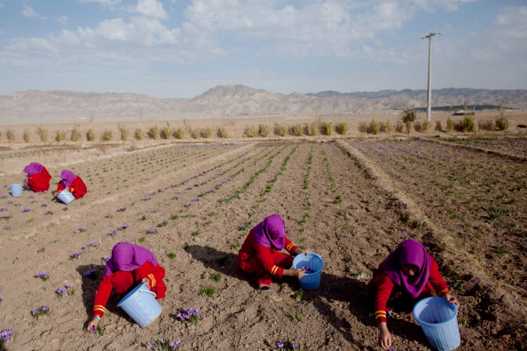 Herat「Saffron Harvested in Herat」:写真・画像(0)[壁紙.com]