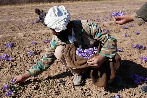Saffron「Saffron Harvested in Herat」:写真・画像(8)[壁紙.com]
