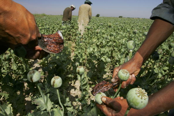 Poppy - Plant「Afghanistan Farmers Harvest Healthy Crop Of Poppies」:写真・画像(18)[壁紙.com]