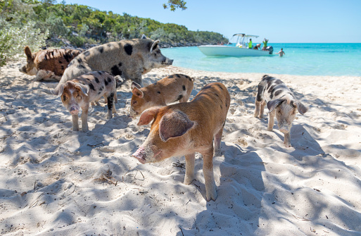 Bahamas「PIGS ON A BEACH_swimming pigs_Exumas_Bahamas」:スマホ壁紙(7)
