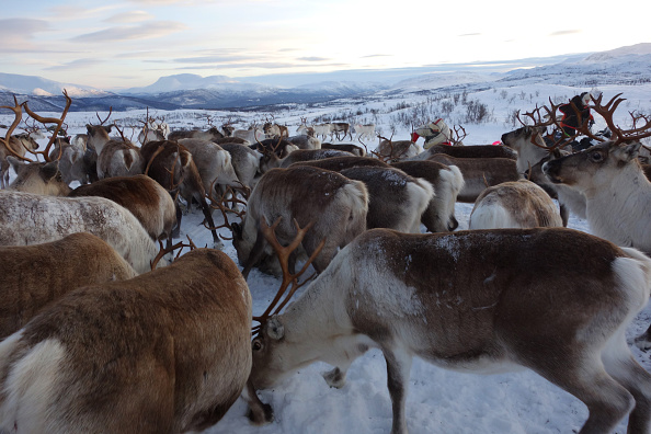 Animal Body Part「Sami Reindeer Herding」:写真・画像(13)[壁紙.com]