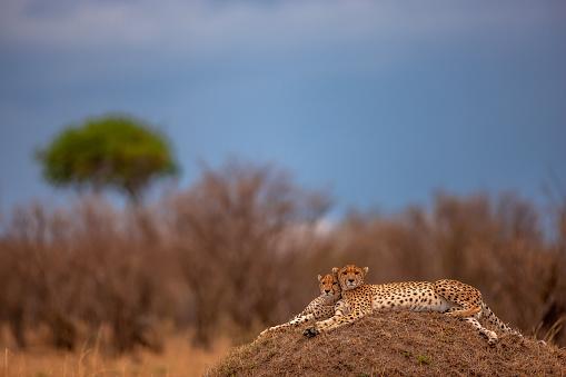 African Cheetah「A cheek to cheek posture of two adult cheetahs (Acinonyx jubatus) resting on a mound at plain」:スマホ壁紙(2)