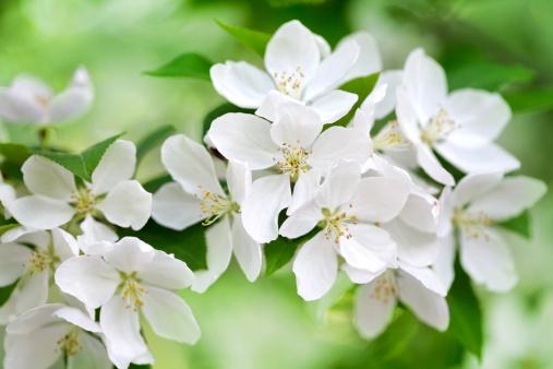Apple Blossom「Apple tree blossom」:スマホ壁紙(15)