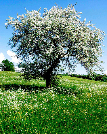 Apple Blossom「Apple tree in spring with white blossoms」:スマホ壁紙(5)