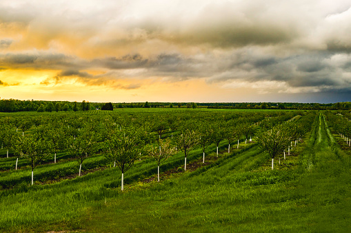 Apple Tree「Apple Tree Orchard during a sunset」:スマホ壁紙(7)