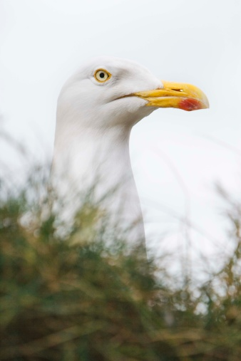 Herring Gull「Herring gull」:スマホ壁紙(17)
