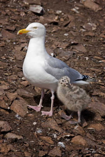 Herring Gull「Herring gull (Larus argentatus) with chick, Bass Rock, Scotland, July」:スマホ壁紙(7)