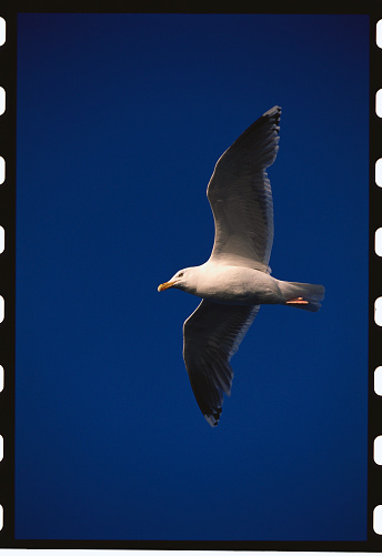 Herring Gull「Herring Gull Flying in Midnight Sun」:スマホ壁紙(17)