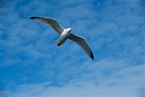 Herring Gull「Herring gull in flight」:スマホ壁紙(8)