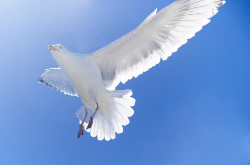 Herring Gull「Herring Gull in flight」:スマホ壁紙(11)