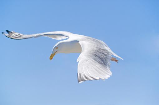 Herring Gull「Herring gull (Larus argentatus)」:スマホ壁紙(2)
