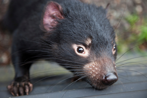 Animal Wildlife「Closeup Tasmanian Devil」:スマホ壁紙(8)