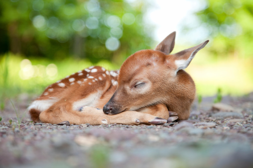 Fawn「Newborn White-Tailed Deer Fawn Sleeping in Woods Clearing」:スマホ壁紙(1)