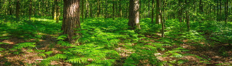 Sequoia Tree「Summer in forest green fern fronds idyllic woodland glade panorama」:スマホ壁紙(17)