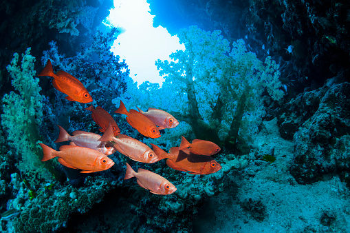 Soft Coral「Red fish with corals」:スマホ壁紙(18)