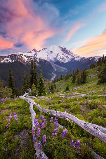 レーニア山国立公園「Purple Lupin grows in an alpine meadow across from Mount Ranier.」:スマホ壁紙(9)