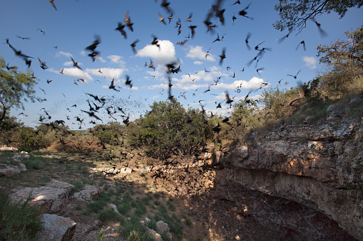 Animals Hunting「Mexican free-tailed bats flying outside cave preserve Texas」:スマホ壁紙(5)