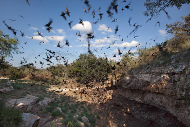Mexican free-tailed bats flying outside cave preserve Texas:スマホ壁紙(壁紙.com)