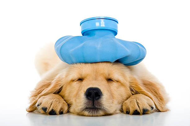 Sick young puppy with ice bag on head, white background:スマホ壁紙(壁紙.com)