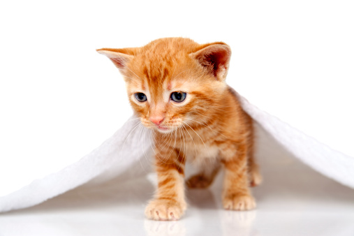 Mixed-Breed Cat「Tabby small kitten with towel on white background」:スマホ壁紙(1)