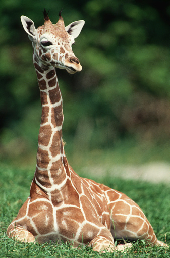 Giraffe「Giraffe Sitting on the Grass」:スマホ壁紙(12)