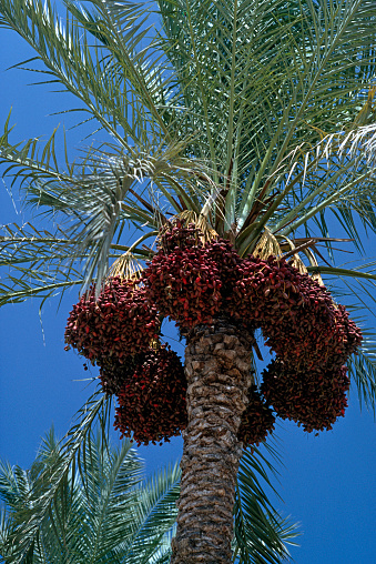 Gaza Strip「Palm tree with dates」:スマホ壁紙(15)