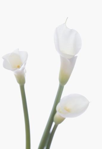 flower「Calla lilies」:スマホ壁紙(17)