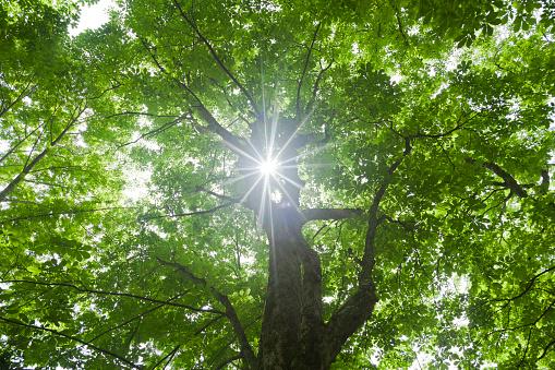 Low Angle View「Japanese cedar trees, Nagano Prefecture, Honshu, Japan」:スマホ壁紙(7)