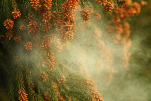 Pollen「Japanese Cedar pollen」:スマホ壁紙(6)