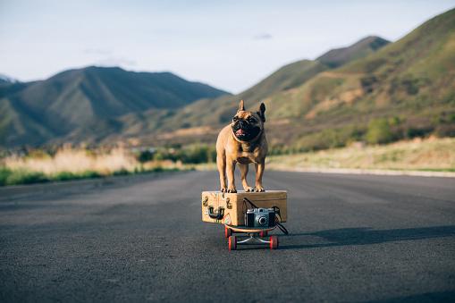 Skating「Traveling French Bulldog」:スマホ壁紙(11)