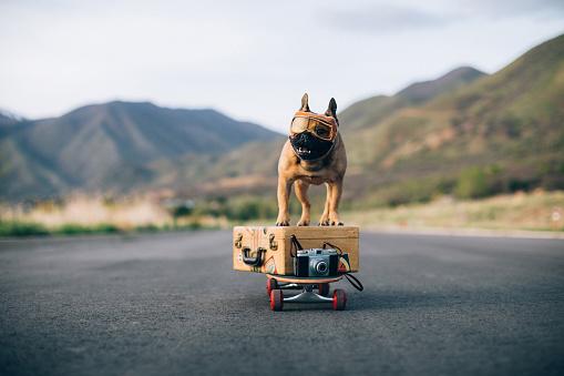 Flying Goggles「Traveling French Bulldog」:スマホ壁紙(5)