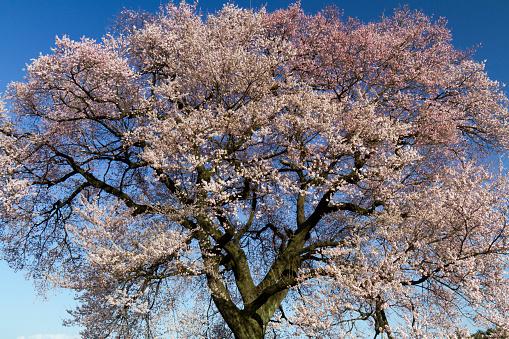 桜「Wanitsuka Cherry Tree」:スマホ壁紙(9)