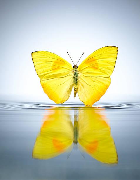 Buttercup Butterfly in a pool of water:スマホ壁紙(壁紙.com)